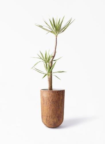 観葉植物 ユッカ 10号 斑入り バル トール ラスティ 付き