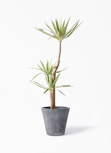 観葉植物 ユッカ 10号 斑入り フォリオソリッド ブラックウォッシュ 付き