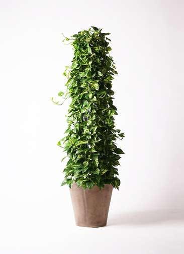 観葉植物 ポトス 10号 ルーガ アンティコ ソリッド 付き