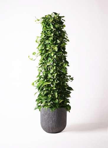観葉植物 ポトス 10号 カルディナダークグレイ 付き