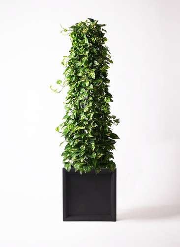 観葉植物 ポトス 10号 ブリティッシュキューブ 付き