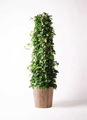 観葉植物 ポトス 10号 ウッドプランター 付き