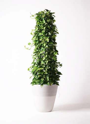 観葉植物 ポトス 10号 ジュピター 白 付き