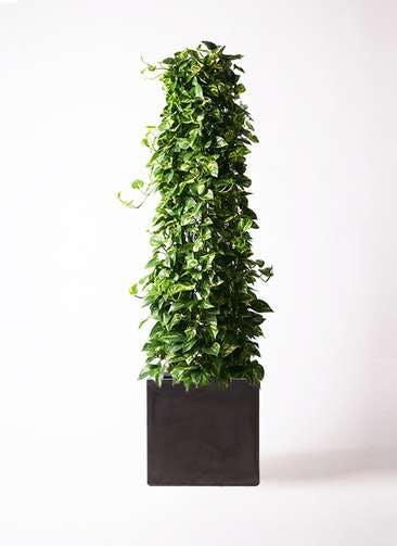 観葉植物 ポトス 10号 ファイバークレイ キューブ 付き