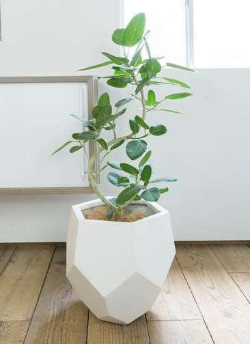 観葉植物 フィカス ベンガレンシス 8号 曲り ポリゴヘクサ 白 付き