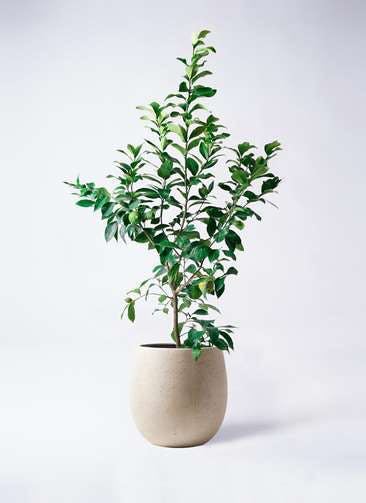 レモンの木 8号 リスボン テラニアス バルーン アンティークホワイト 付き