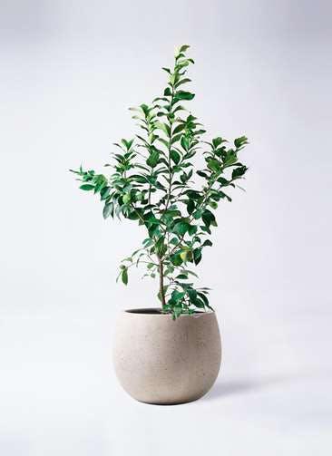 レモンの木 8号 リスボン テラニアス ローバルーン アンティークホワイト 付き