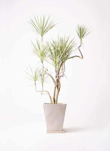 観葉植物 コンシンネ ホワイポリー 10号 曲り スクエアハット 白 付き