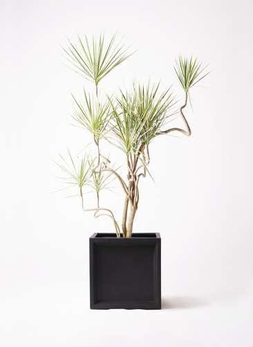 観葉植物 コンシンネ ホワイポリー 10号 曲り ブリティッシュキューブ 付き