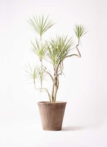 観葉植物 コンシンネ ホワイポリー 10号 曲り ルーガ アンティコ ソリッド 付き