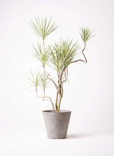 観葉植物 コンシンネ ホワイポリー 10号 曲り アートストーン ラウンド グレー 付き