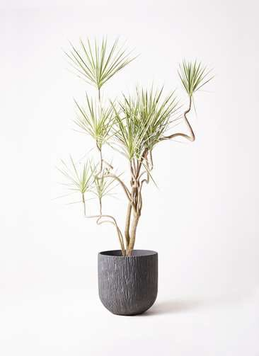 観葉植物 コンシンネ ホワイポリー 10号 曲り カルディナダークグレイ 付き