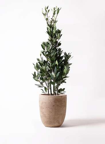 観葉植物 月桂樹 8号 ルーガ アンティコ アルトエッグ 付き