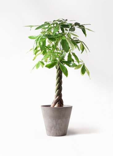 観葉植物 パキラ 8号 ねじり アートストーン ラウンド グレー 付き