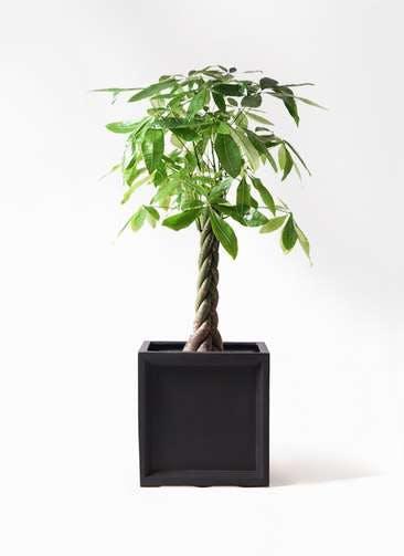 観葉植物 パキラ 8号 ねじり ブリティッシュキューブ 付き