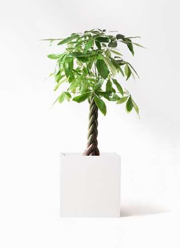 観葉植物 パキラ 8号 ねじり バスク キューブ 付き