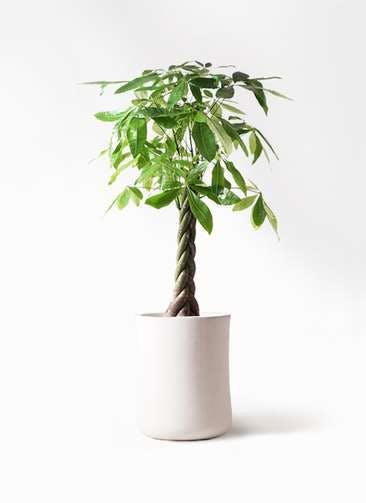 観葉植物 パキラ 8号 ねじり バスク ミドル ホワイト 付き