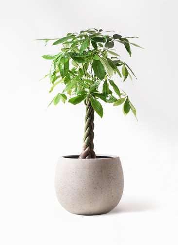 観葉植物 パキラ 8号 ねじり テラニアス ローバルーン アンティークホワイト 付き