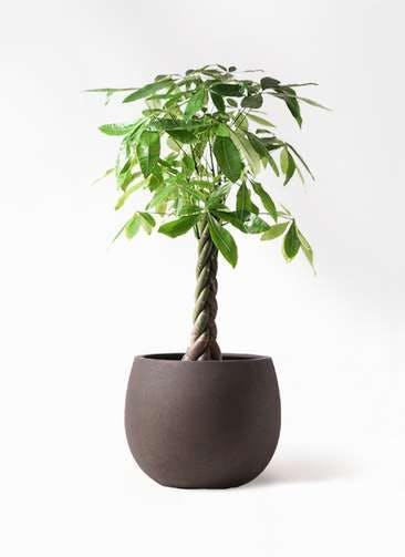 観葉植物 パキラ 8号 ねじり テラニアス ローバルーン アンティークブラウン 付き