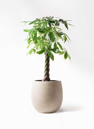 観葉植物 パキラ 8号 ねじり テラニアス バルーン アンティークホワイト 付き