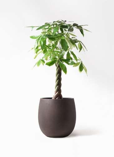 観葉植物 パキラ 8号 ねじり テラニアス バルーン アンティークブラウン 付き