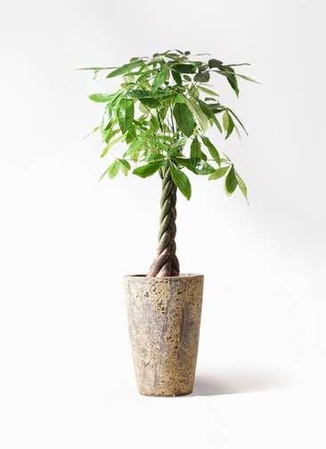 観葉植物 パキラ 8号 ねじり アトランティス クルーシブル 付き