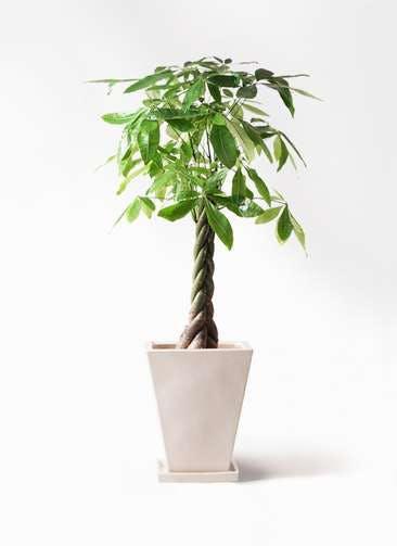 観葉植物 パキラ 8号 ねじり スクエアハット 白 付き
