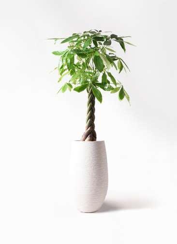 観葉植物 パキラ 8号 ねじり フォンティーヌトール 白 付き