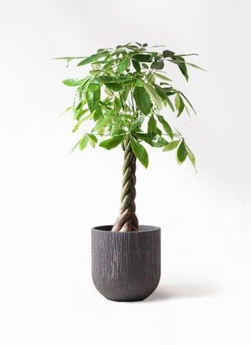 観葉植物 パキラ 8号 ねじり カルディナダークグレイ 付き