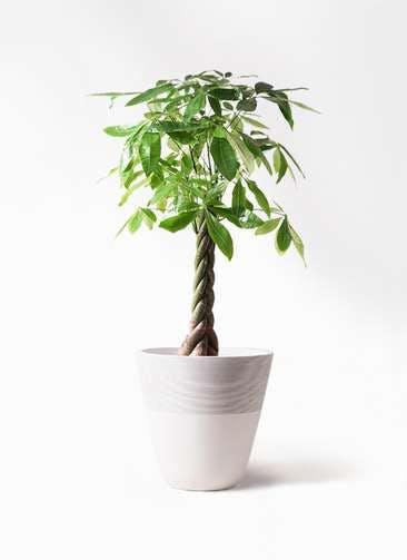 観葉植物 パキラ 8号 ねじり ジュピター 白 付き