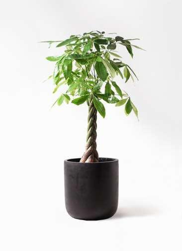 観葉植物 パキラ 8号 ねじり エルバ 黒 付き