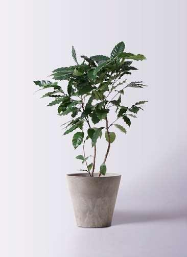 観葉植物 コーヒーの木 8号 アートストーン ラウンド グレー 付き