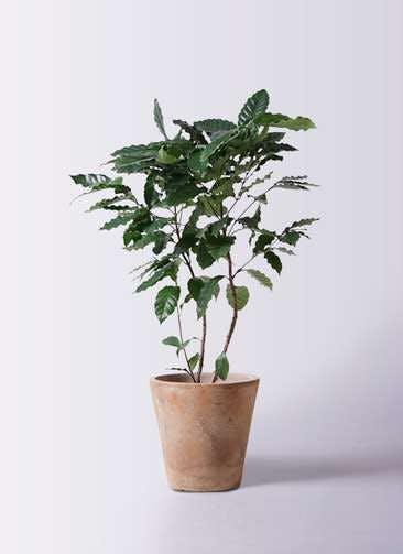 観葉植物 コーヒーの木 8号 ルーガ アンティコ ソリッド 付き