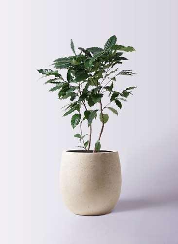 観葉植物 コーヒーの木 8号 テラニアス バルーン アンティークホワイト 付き