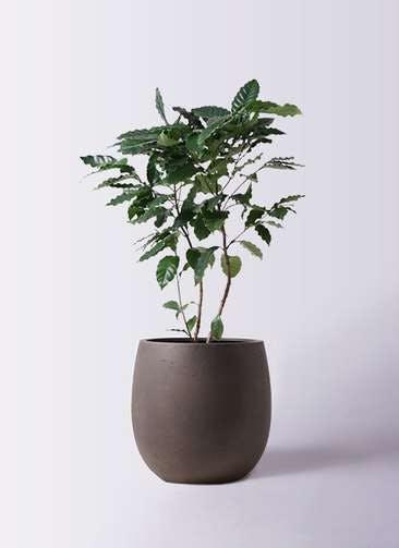 観葉植物 コーヒーの木 8号 テラニアス バルーン アンティークブラウン 付き