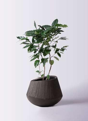 観葉植物 コーヒーの木 8号 エディラウンド 黒 付き