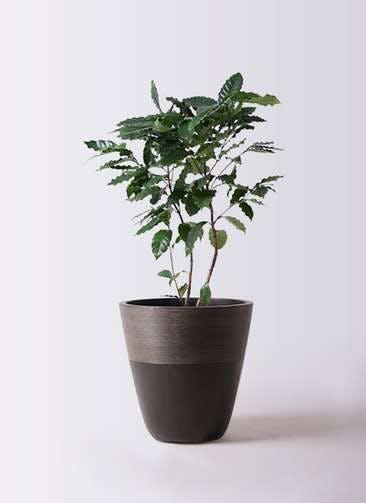 観葉植物 コーヒーの木 8号 ジュピター 黒 付き