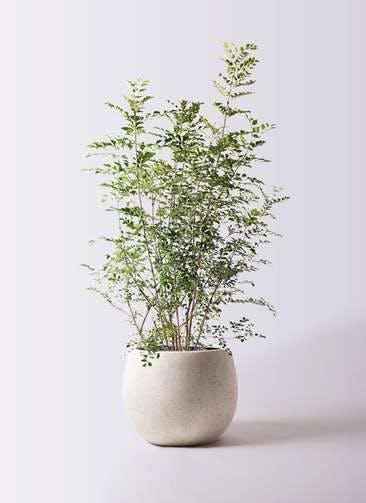 観葉植物 シマトネリコ 8号 テラニアス ローバルーン アンティークホワイト 付き
