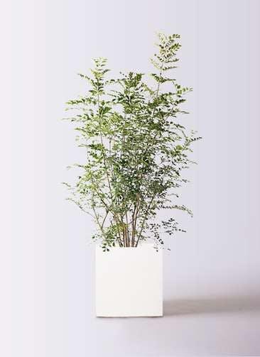 観葉植物 シマトネリコ 8号 バスク キューブ 付き