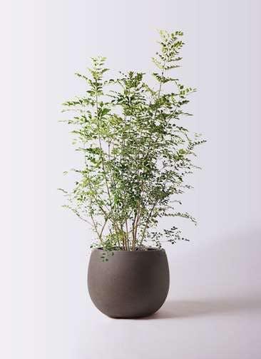 観葉植物 シマトネリコ 8号 テラニアス ローバルーン アンティークブラウン 付き