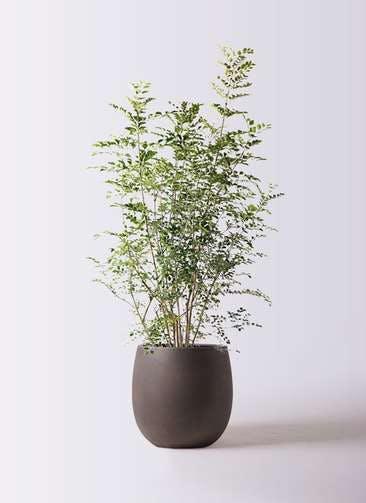 観葉植物 シマトネリコ 8号 テラニアス バルーン アンティークブラウン 付き