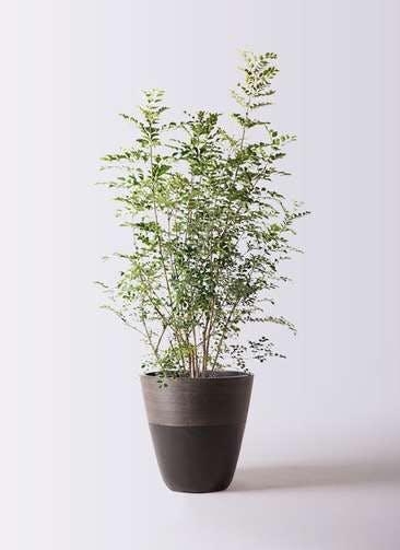 観葉植物 シマトネリコ 8号 ジュピター 黒 付き