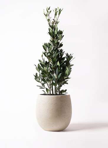 観葉植物 月桂樹 8号 テラニアス バルーン アンティークホワイト 付き