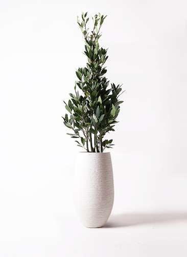 観葉植物 月桂樹 8号 フォンティーヌトール 白 付き