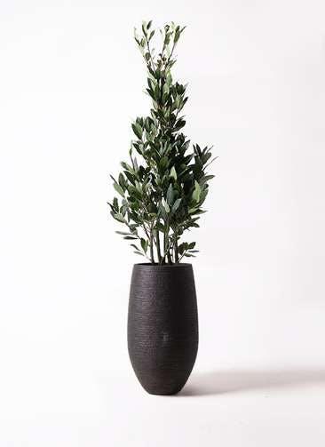 観葉植物 月桂樹 8号 フォンティーヌトール 黒 付き