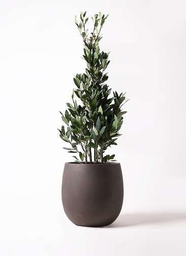 観葉植物 月桂樹 8号 テラニアス バルーン アンティークブラウン 付き