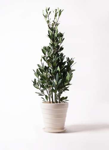 観葉植物 月桂樹 8号 サバトリア 白 付き