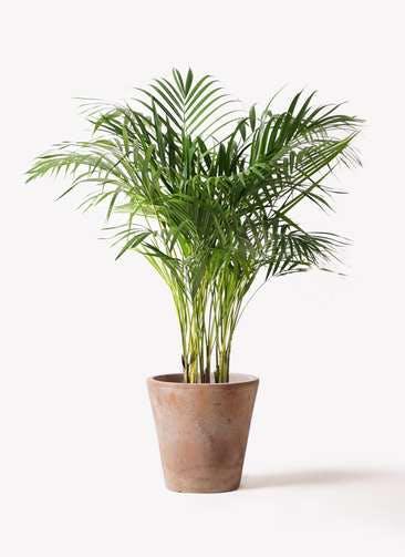 観葉植物 アレカヤシ 8号 ルーガ アンティコ ソリッド 付き
