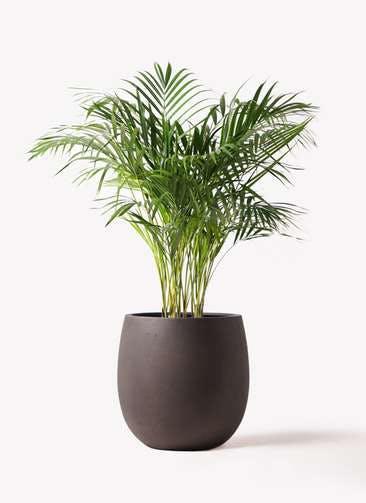 観葉植物 アレカヤシ 8号 テラニアス バルーン アンティークブラウン 付き