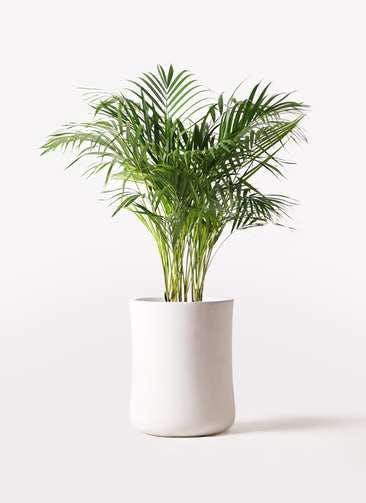 観葉植物 アレカヤシ 8号 バスク ミドル ホワイト 付き